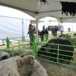 Изложители на овце 2013