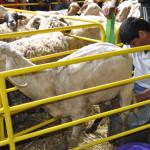Събор 2012 – Стригане на овце с ножица