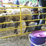 Национален събор на овцевъдите  2013 г.