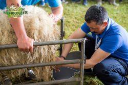 Доене на овце Киргизстан
