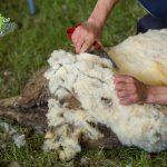 Стригане на овце 2017