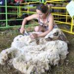 Състезание за стригане на овце с ножица 2013