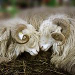 Националният събор на овцевъдите  ще спазва мерките срещу Заразен нодуларен дерматит