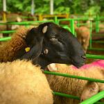 Кръгла масаза овцевъдството събирабраншови организации от 26 страни в Арбанаси